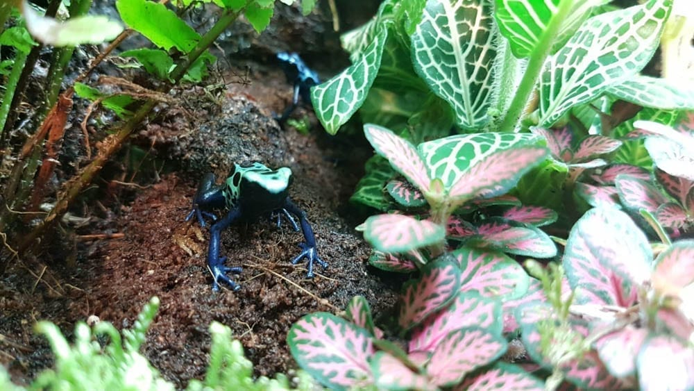 Unsexed Blue Poison Dart Frog D. azureus