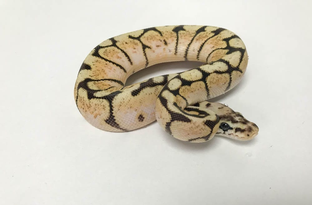 Female Bumblebee poss Orange Dream Royal Python CB18