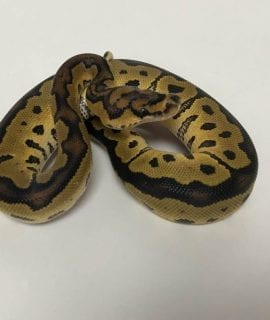 Female Clown Royal Python CB18
