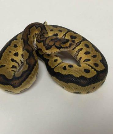 Female Clown Royal Python CB18