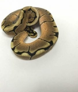 Female Spider Royal Python CB18