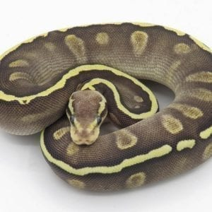 Female GHI Mojave het Ghost Royal Python CB18