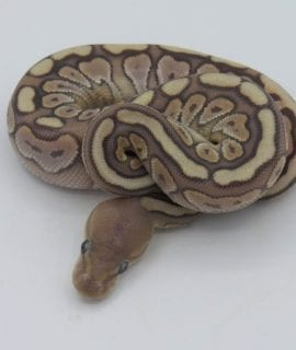 Female Hidden Gene Woma Granite Pewter Yellowbelly Ghost Royal Python CB18