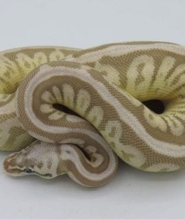 Female Leopard Butter Cinnamon Ghost Royal Python CB18
