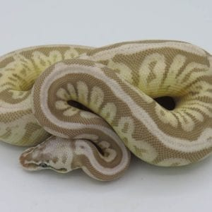 Female Leopard Butter Cinnamon Spider Ghost Royal Python CB18