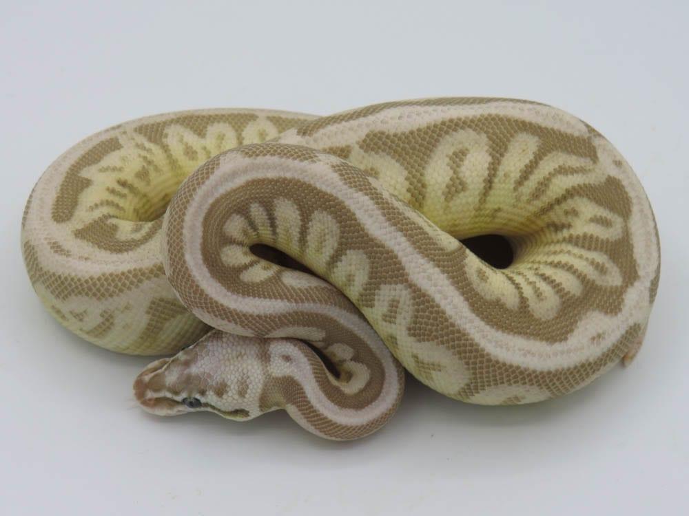 Female Leopard Butter Cinnamon Spider Ghost Royal Python CB18