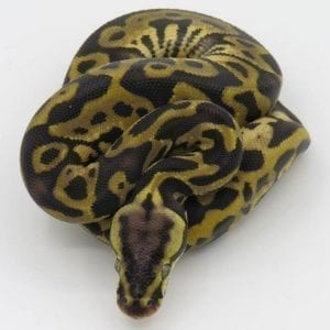 Female Leopard Pastel het Ghost Royal Python CB18