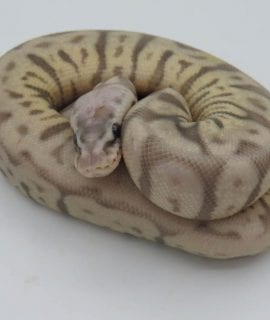 Female Leopard Pewterbee Ghost Royal Python CB18