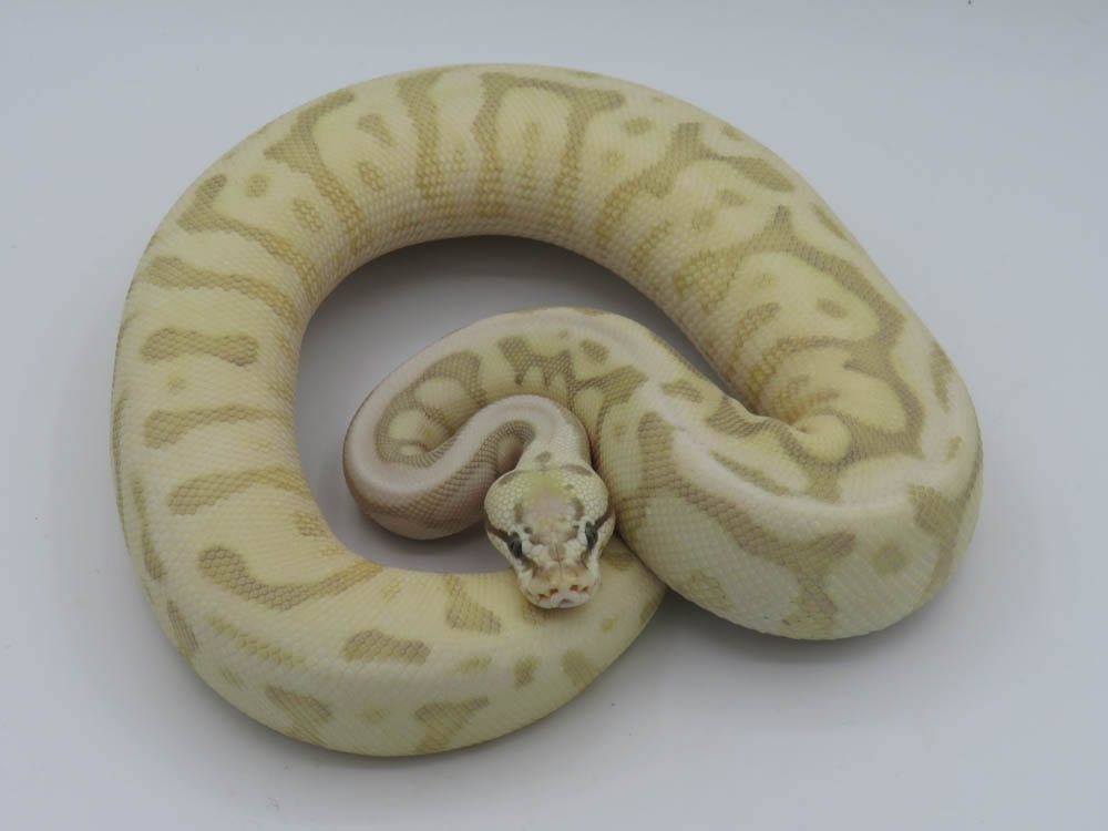 Female Leopard Queenbee Ghost Royal Python CB18