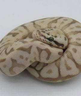 Female Leopard Queenbee het Ghost Royal Python CB18