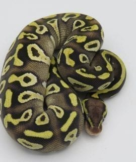 Female EXO LBB Pastave Yellowbelly/Asphalt Royal Python CB18
