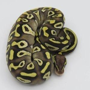 Female EXO LBB Pastave Yellowbelly/Asphalt Royal Python CB18