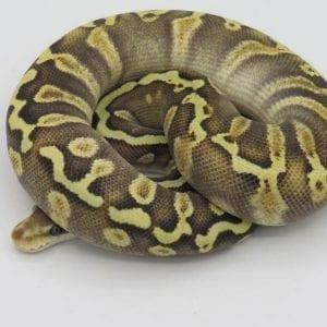 Female Pastave GHI 66% het Ghost Royal Python CB18