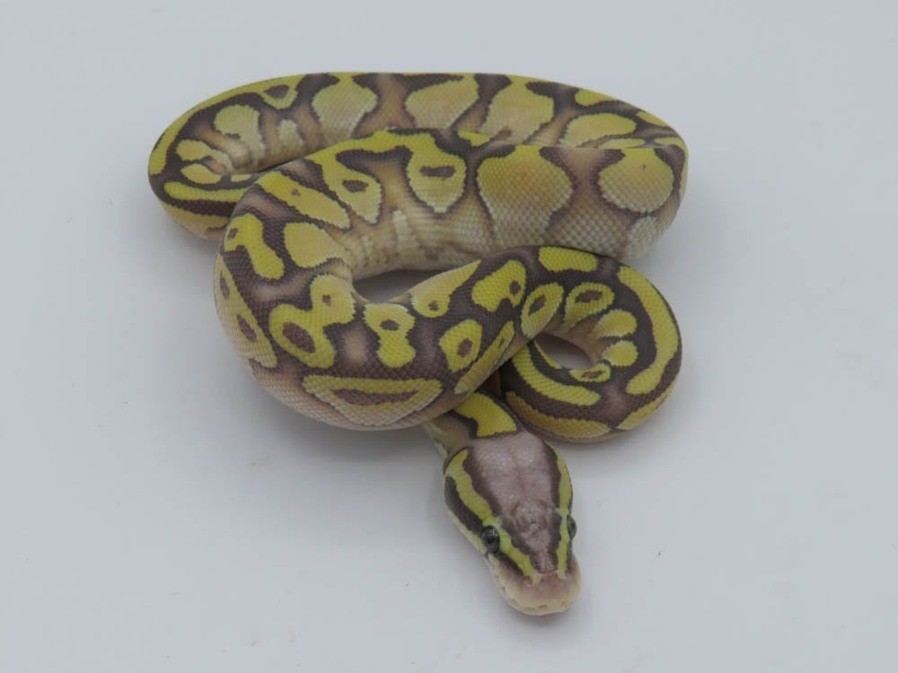 Male Butter Pastel Yellowbelly Ghost Royal Python CB18