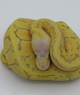 Male Enchi Fire Lemonblast Ghost Royal Python CB18