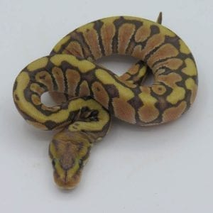 Male Hidden Gene Woma Granite Royal Python CB18
