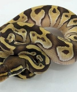 Male Pastave het Red Axanthic Royal Python CB18