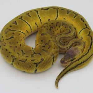 Male Lemonblast het Ghost Royal Python CB18
