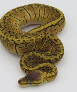 Male Lemonblast Sable 66% het Ghost Royal Python CB18