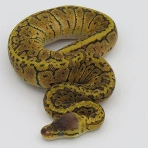 Male Lemonblast Sable 66% het Ghost Royal Python CB18