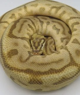 Male Leopard Butterbee het Ghost Royal Python 850g CB15