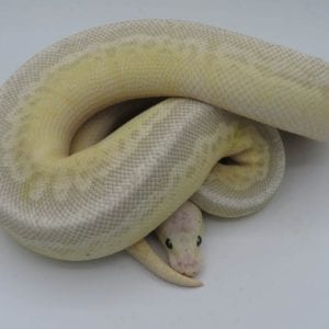 Male Super EXOLBB Pastel Butter Yellowbelly 800g CB17