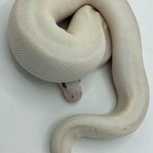 Male Super Mojave (Yellowbelly Super Pastel) Royal Python CB18