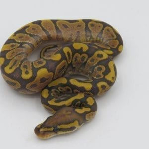 Male Yellowbelly Ghost Royal Python CB18