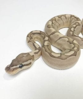 Female Bamboo Pastel or Fire Royal Python CB18