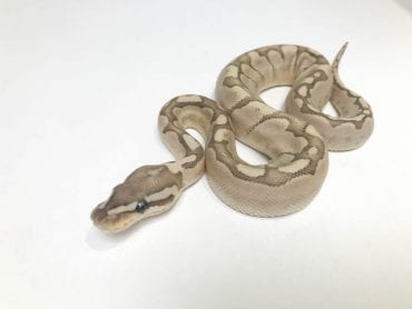 Female Bamboo Fire Royal Python CB18