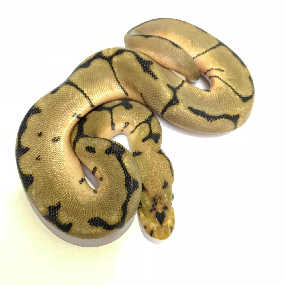 Female Clown Spider Royal Python CB18