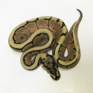 Female Spider poss het Clown Royal Python CB18
