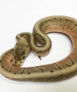 Female Spinner poss het Clown Royal Python CB18