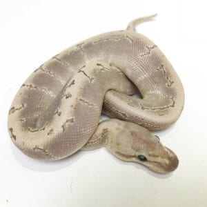 Male Bamboo Spinnerblast Royal Python CB18