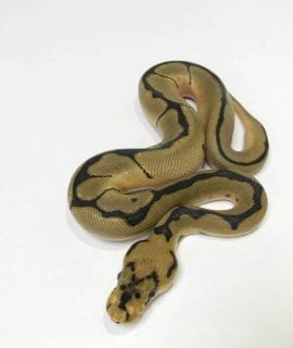Male Clown Spider Royal Python CB18
