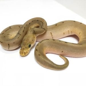 Male Clown Spinner Royal Python CB18
