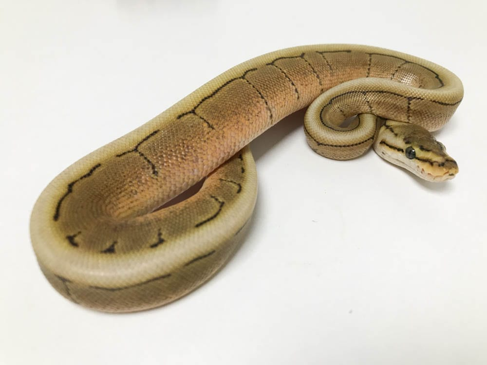 Male Fire Spinner Royal Python CB18