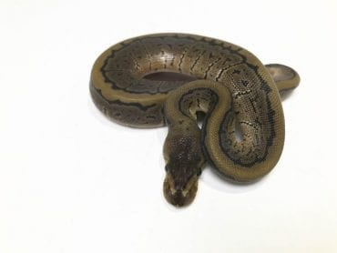 Male Pinstripe poss het Clown Royal Python CB18