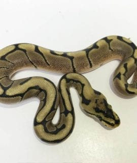 Male Spider poss het Clown Royal Python CB18
