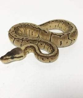 Female Lemonblast Royal Python CB18
