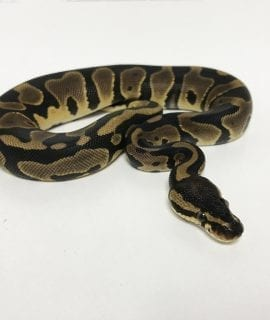 Female Leopard Royal Python CB18