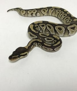 Female Mojave Royal Python CB18