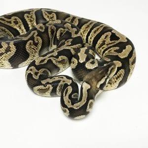 Female Pastel GHI poss het Ghost Royal Python 1.2kg CB