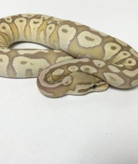 Male Banana Pastave Royal Python CB18