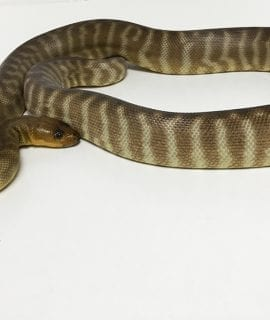 Male Woma Python Breeder CB