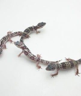 Mack Snow Leopard Gecko CB20