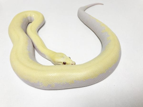 Male Albino Green (BEL) Burmese Python CB18