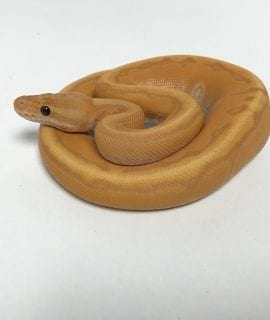 Male Banana Cinnamon Enchi Pinstripe Royal Python CB18
