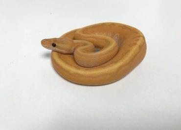 Male Banana Cinnamon Enchi Pinstripe Royal Python CB18