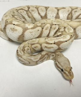 Male Banana Super Pastel 1.8kg Royal Python CB